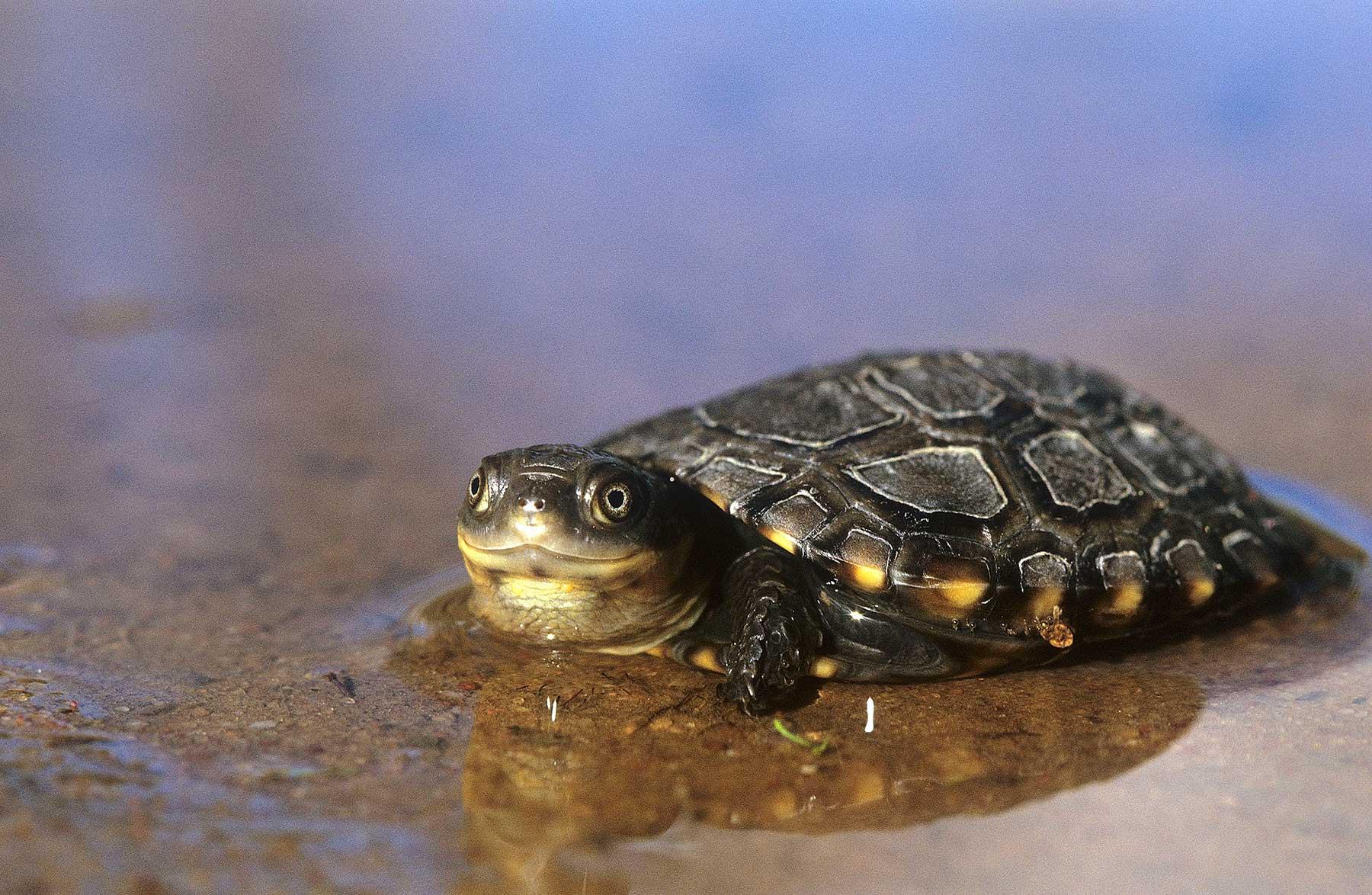Western Swamp Tortoise